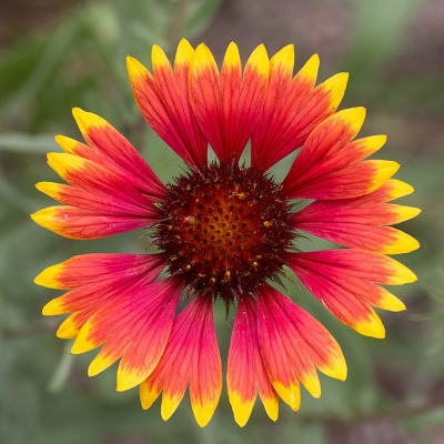 blanket flower with red and yellow petals