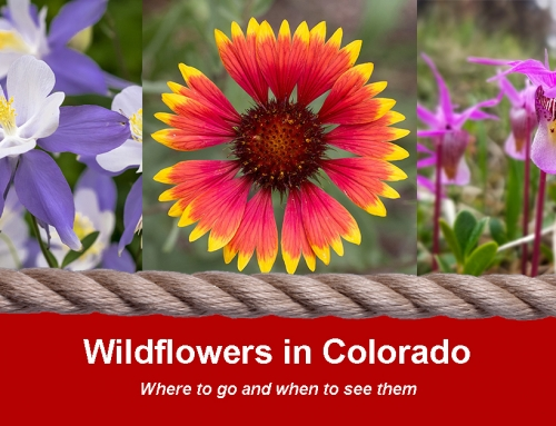 Wildflowers in Colorado: When and Where to See Them