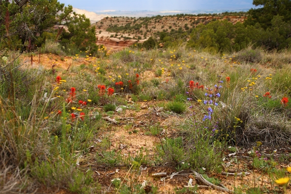 wildflowers in Colorado National Monument